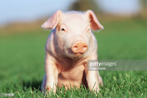 Piglet sitting on grass