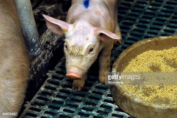 A piglet stands in its pen on the farm of pork producer Thierry Rondel in the Brittany village of Tredaniel in western France on Thursday Oct 25 2007...
