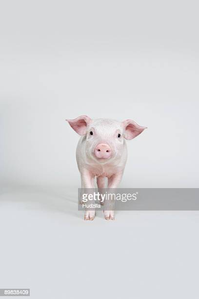 piglet, studio shot - pig stock pictures, royalty-free photos & images