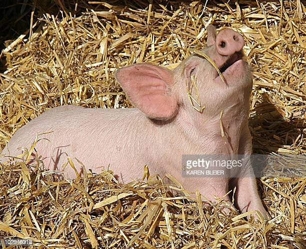 A piglet tries to get a piece of straw off its snout 29 October 2006 at Cox Farms in Chantilly Virginia