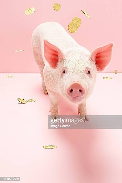 Piglet under falling gold coins, studio shot