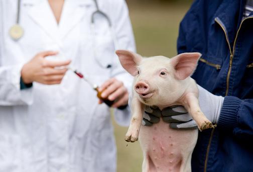 Piglet vaccination 475725590