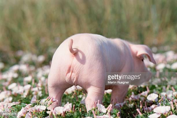 Piglet walking in wildflowers