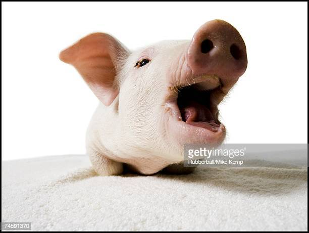 Piglet with mouth open