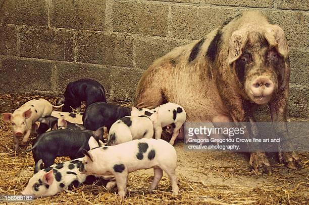 piglets and sow - gregoria gregoriou crowe fine art and creative photography stockfoto's en -beelden