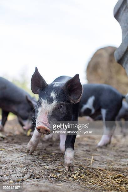 Piglets At Farm Against Sky