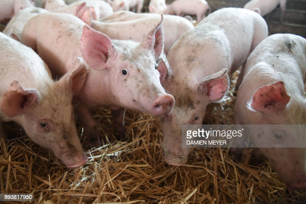 Piglets breeded on straw are seen in a pig farming in Plelo western France on December 15 2017 Compared to traditional breeding pig farming on straw...