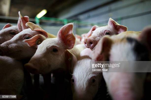Piglets crowd a stall at the HC Daniels hog farm in Drahnsdorf on April 28 2016 near Golssen Germany German hog farmers are exporting pork meat...