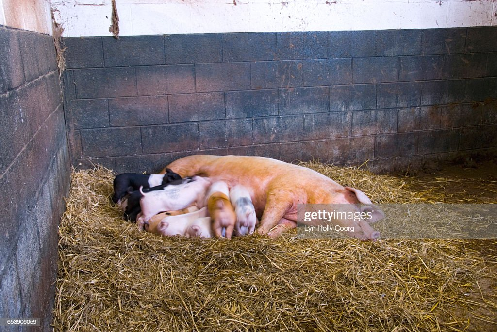 Piglets drinking milk from Mother pig : Stock Photo