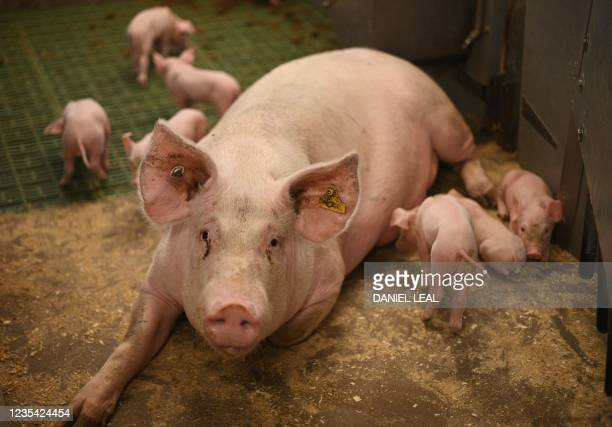 Piglets feed from their mother at Wicks Manor Farm in Maldon, south east England on September 22, 2021 - Britain warned Wednesday that a deal to...