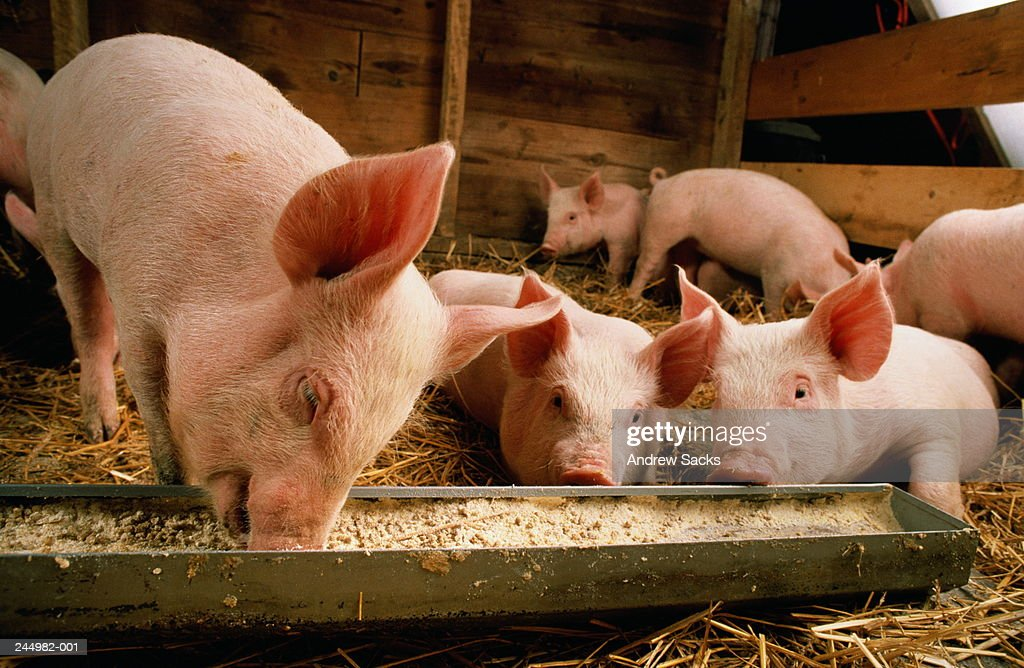 Piglets (Sus sp.) feeding at trough : Stock Photo
