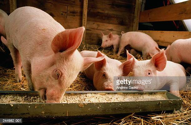 piglets (sus sp.) feeding at trough - pig stock pictures, royalty-free photos & images