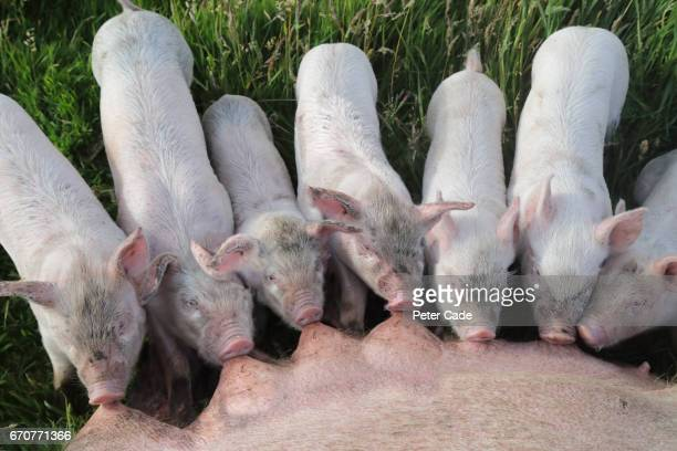 Piglets feeding from mother