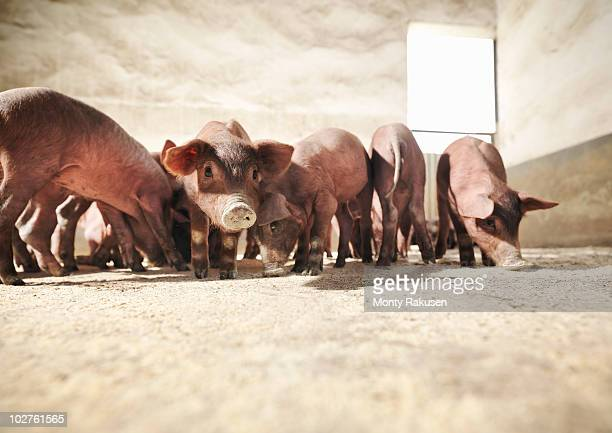 Piglets in pen eating feed