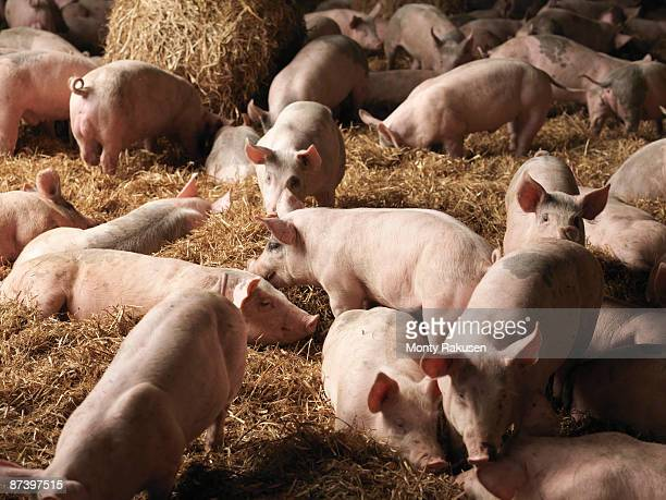 piglets inside barn - pig stock pictures, royalty-free photos & images