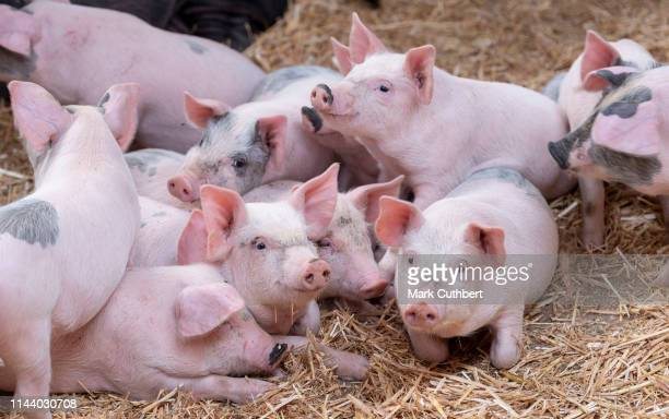 56 133 Pig Photos And Premium High Res Pictures Getty Images,How To Get Oil Stains Out Of Clothes With Baking Soda