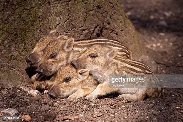 ferkel wild boar - wildschwein stock-fotos und bilder
