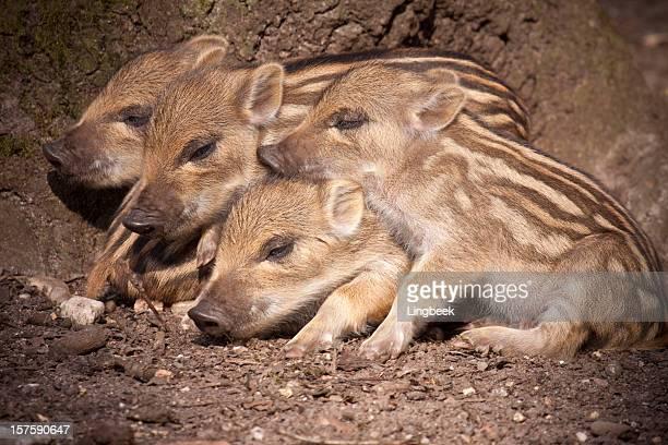 Piglets of Wild Boar