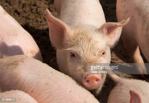 piglets on a farm near manciano, tuscany - pig stock pictures, royalty-free photos & images