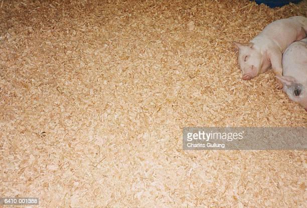 Piglets Sleeping on Sawdust