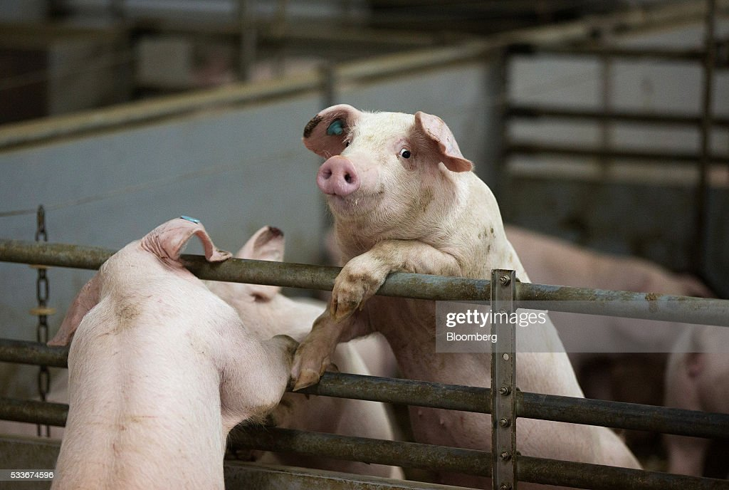 Pig Farming As Russia Increases Food Security : News Photo
