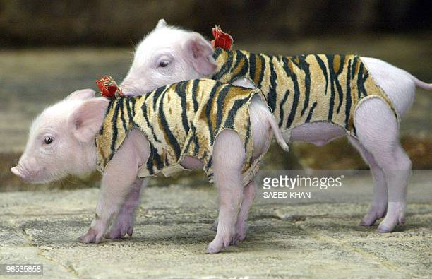 Piglets stand in a Tigress' cage who is breeding them at the Sri Racha tiger zoo in Chonburi province southeast of Bangkok 18 November 2004 The...