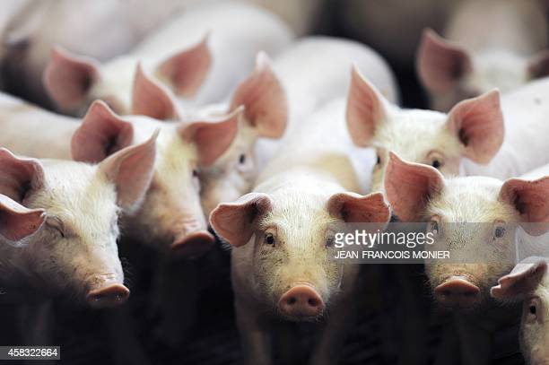 Piglets stand in their enclosure at a pig farm of Label Rouge standard in MarigneLaille in western France on September 7 2014 The 'Label Rouge' is an...