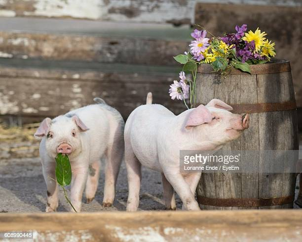 Piglets Standing By Wooden Barrel With Flowers