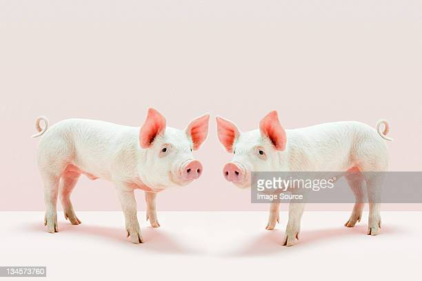 Piglets standing face to face in studio