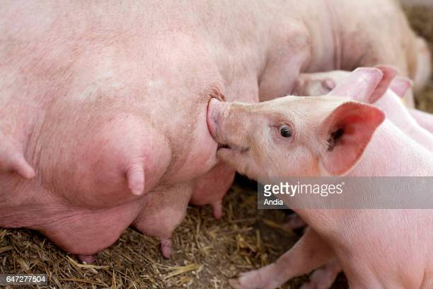 Piglets sucking at their mother's breast