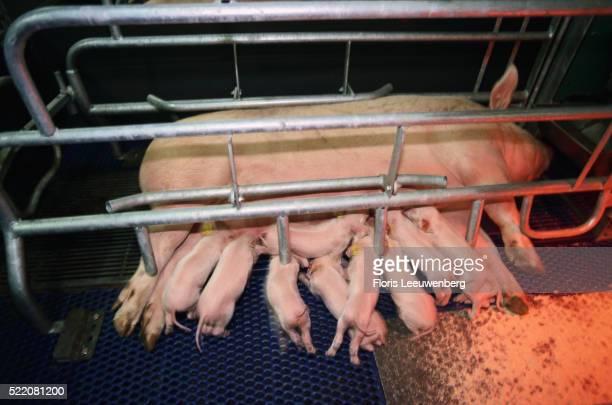 piglets suckling at sow - 雌豚 ストックフォトと画像