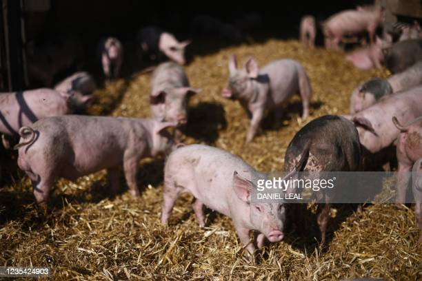 Pigs are seen in a pen at Wicks Manor Farm in Maldon, south east England on September 22, 2021 - Britain warned Wednesday that a deal to restart...