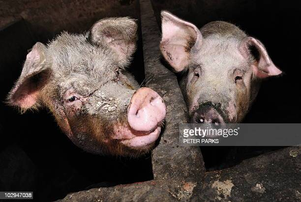 Pigs are seen on a pig farm on the outskirts of Beijing on April 28 2009 There are no 'probable' or confirmed human cases of swine flu in China but...