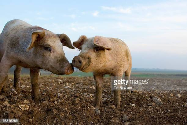 Pigs at Sheepdrove Organic Farm Lambourn England where Camborough sows are kept with Duroc boars