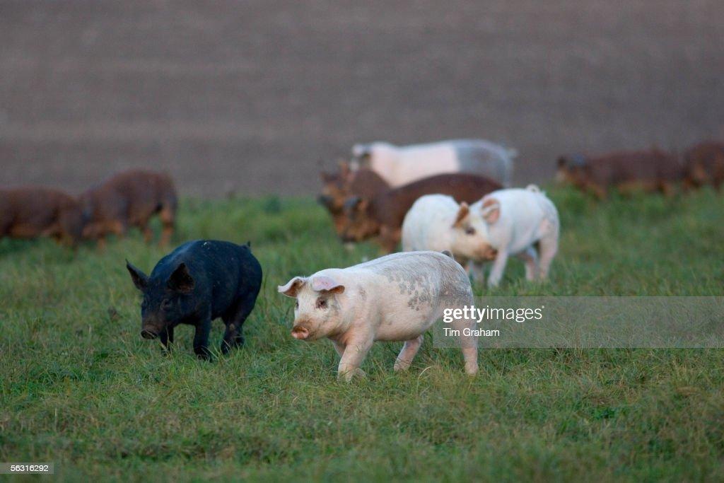 Free-range Pigs, Lambourn, UK : Nachrichtenfoto