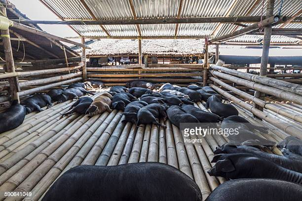 Pigs at the Bolu livestock market Rantepao Toraja Land South Sulawesi Indonesia