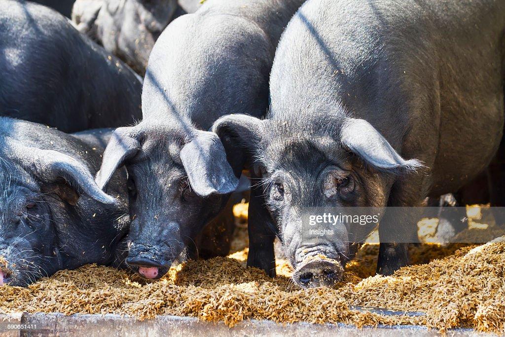 Pigs at the Bolu livestock market. : News Photo