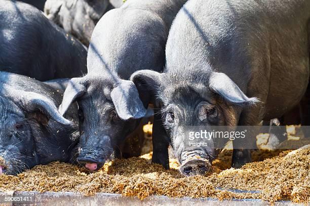 Pigs at the Bolu livestock market Rantepao Toraja Land South Sulawesi Indonesia