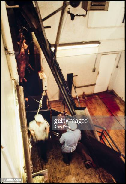 Pigs being slaughtered at a Norfolk abattoir in March 1981, using methods which later became illegal in Britain.