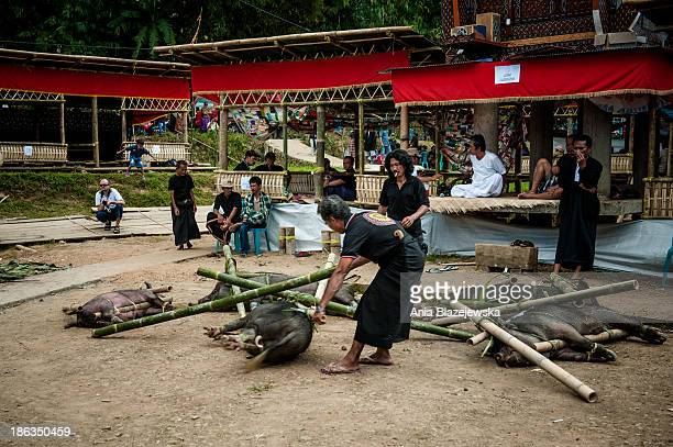 CONTENT] Pigs brought for the day of receiving the day when funeral guests arrive to attend a ceremony in Tana Toraja The most important ceremony in...