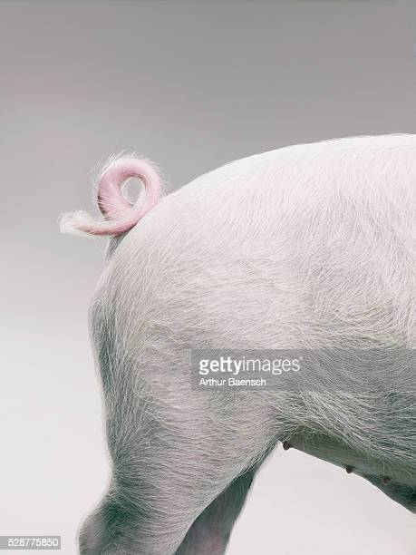 pig's curly tail - tail stock pictures, royalty-free photos & images