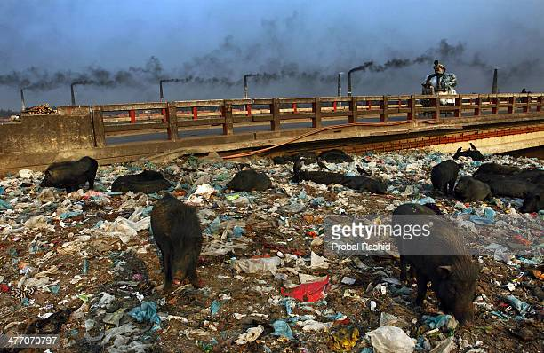 GAZIPUR BANGLADESH GAZIPUR BANGLADESH Pigs eat garbage as factories and brick factory kilns spew smoke into the air The growth of industries in...