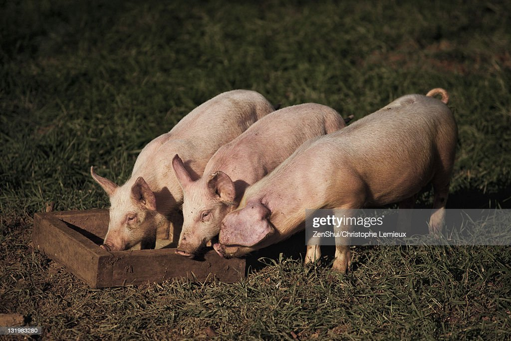 Pigs eating form trough : Stock Photo