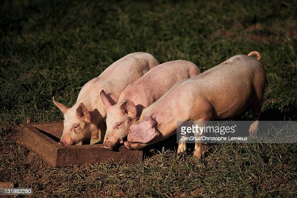 Pigs eating form trough