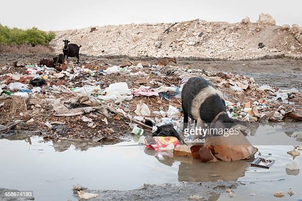 cerdos de comer de la basura - paisajes de haiti fotografías e imágenes de stock