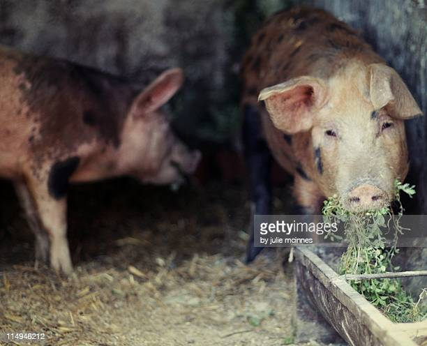 pigs eating nettles in sty - pigs trough stock pictures, royalty-free photos & images