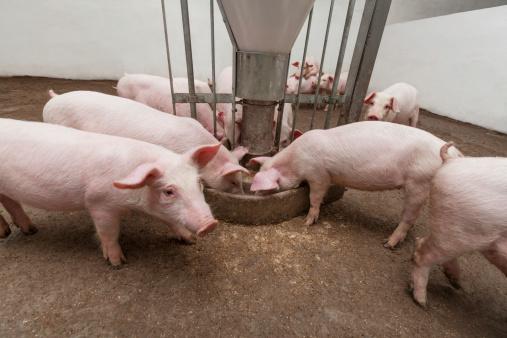 Pigs enjoying a meal on a pig farm 165484594