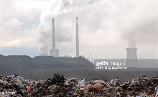Pigs feed on a waste dumped near the cooling towers of a coal power plant near the southern town of Bitola 200 km from the capital Skopje on December...