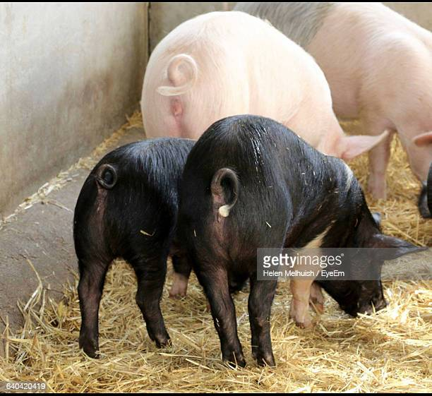 Pigs Feeding At Farm
