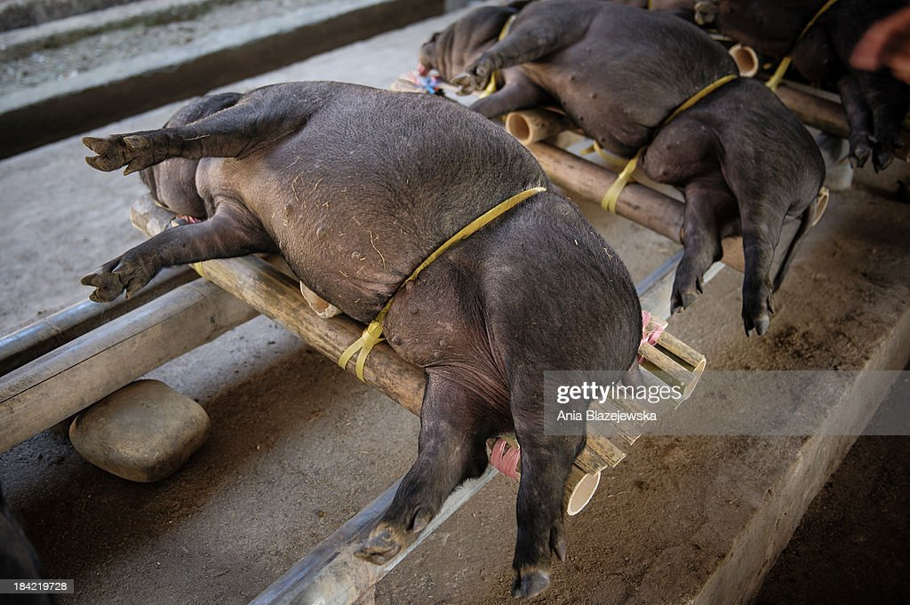 Pigs for sale : News Photo
